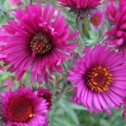 (18/10/2016) Aster novae-angliae 'Lou Williams' added by Shoot)