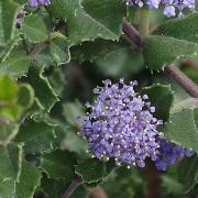(19/10/2016) Ceanothus prostratus added by Shoot)