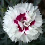 (19/10/2016) Dianthus deltoides 'Bright Eyes' added by Shoot)