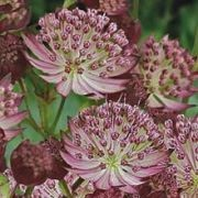 (29/11/2016) Astrantia 'Star of Passion'  added by Shoot)