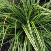 (30/11/2016) Carex oshimensis 'Everlime'  added by Shoot)