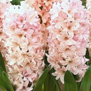 (12/12/2016) Hyacinthus orientalis 'Apricot Passion' added by Shoot)