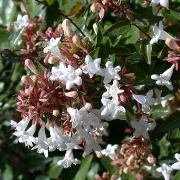 (16/12/2016) Abelia x grandiflora 'Sherwoodii' added by Shoot)