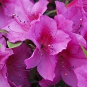 (21/12/2016) Rhododendron 'Formosa' added by Shoot)