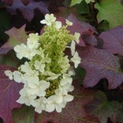 (04/01/2017) Hydrangea quercifolia 'Tennessee Clone' added by Shoot)