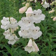 Penstemon 'White Bedder' (28/04/2016) Penstemon 'White Bedder' added by Shoot)