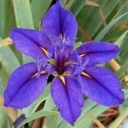 (06/01/2017) Iris 'Delta Star' added by Shoot)