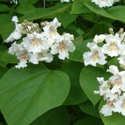 (09/01/2017) Catalpa speciosa added by Shoot)