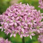 (21/01/2017) Allium 'Pink Jewel' added by Shoot)