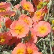(22/01/2017) Helianthemum 'Cheviot' added by Shoot)