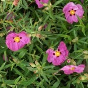 (22/01/2017) Cistus x purpureus 'Brilliancy' added by Shoot)