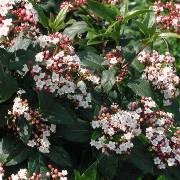 (25/01/2017) Viburnum tinus 'Spring Bouquet' added by Shoot)