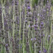 (29/01/2017) Lavandula x heterophylla added by Shoot)