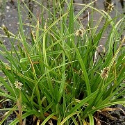 (30/01/2017) Carex otrubae added by Shoot)