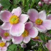 (30/01/2017) Anemone hupehensis var. japonica 'Pink Saucer' added by Shoot)