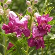 (31/01/2017) Chilopsis linearis 'Burgundy' added by Shoot)