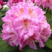 (03/02/2017) Rhododendron 'Scintillation' added by Shoot)