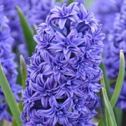 (08/02/2017) Hyacinthus orientalis 'Crystal Palace' added by Shoot)