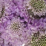 (22/02/2017) Scabiosa 'Lavender Scoop' added by Shoot)