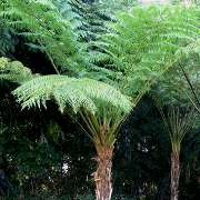 (24/02/2017) Cyathea cooperi 'Brentwood' added by Shoot)