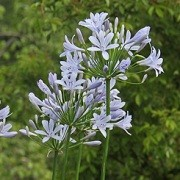 (28/02/2017) Agapanthus 'Amourette Blue' (Amourette Series) added by Shoot)