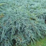 'Blue Carpet' is an evergreen, coniferous shrub with a spreading, prostrate habit.  Its prickly foliage is bright blue-grey.
