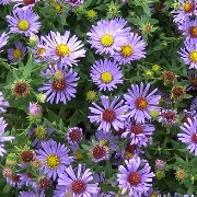 (02/03/2017) Aster oblongifolius 'October Skies' added by Shoot)