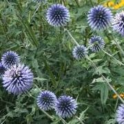 (02/03/2017) Echinops bannaticus added by Shoot)