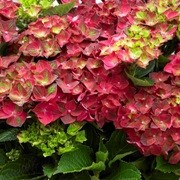 (07/03/2017) Hydrangea macrophylla 'Magical Ruby Tuesday' added by Shoot)