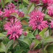 (07/03/2017) Monarda didyma 'Sugar Lace' added by Shoot)