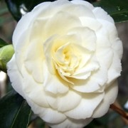 (07/03/2017) Camellia japonica 'Alba Plena' added by Shoot)