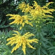 (15/03/2017) Solidago 'Goldkind' added by Shoot)