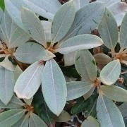 (15/03/2017) Rhododendron 'Viking Silver' added by Shoot)