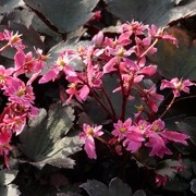 (15/03/2017) Saxifraga 'Black Ruby' (fortunei) added by Shoot)