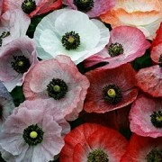 (28/03/2017) Papaver rhoeas Mother of Pearl Group added by Shoot)
