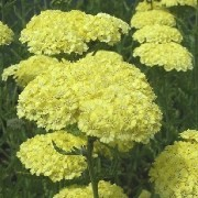 (31/03/2017) Achillea aegyptiaca var. taygetea added by Shoot)