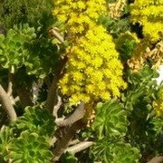 (07/04/2017) Aeonium arboreum added by Shoot)