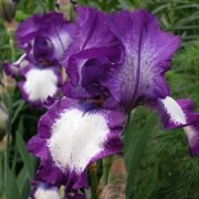 (10/04/2017) Iris 'Stepping Out' added by Shoot)