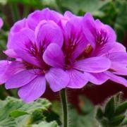 (24/04/2017) Pelargonium 'Purple Unique' added by Shoot)