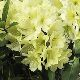 Rhododendron 'Yellow Dufthecke'