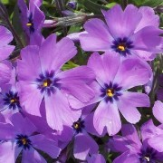 (26/04/2017) Phlox subulata 'Purple Beauty' added by Shoot)