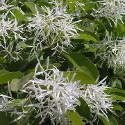 (03/05/2017) Chionanthus retusus added by Shoot)