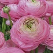 (05/05/2017) Ranunculus asiaticus 'Aviv Rose' added by Shoot)