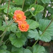 (08/05/2017) Geum coccineum  added by Shoot)