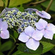 (08/05/2017) Hydrangea macrophylla added by Shoot)