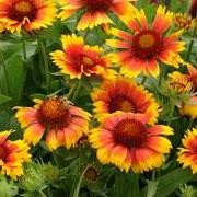(15/05/2017) Gaillardia x grandiflora 'Mesa Bright Bicolor' (Mesa Series) added by Shoot)