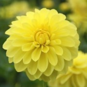 (22/04/2020) Dahlia 'Sunlady' added by Shoot)