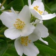 (18/05/2017) Philadelphus lewisii added by Shoot)