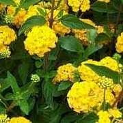 (19/05/2017) Lantana 'New Gold' added by Shoot)