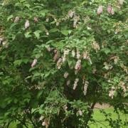 (23/05/2017) Syringa x prestoniae added by Shoot)